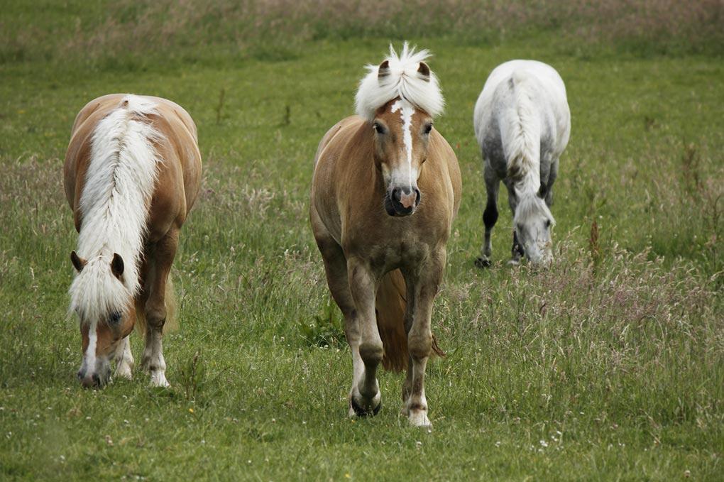 garlstorf-pferde2